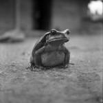жаба Бломберга, 1950 г.