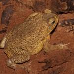 жаба-ага, взрослый мальчик