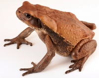 самая большая жаба в мире - миниатюра