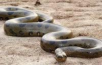 самая большая змея в мире - миниатюра